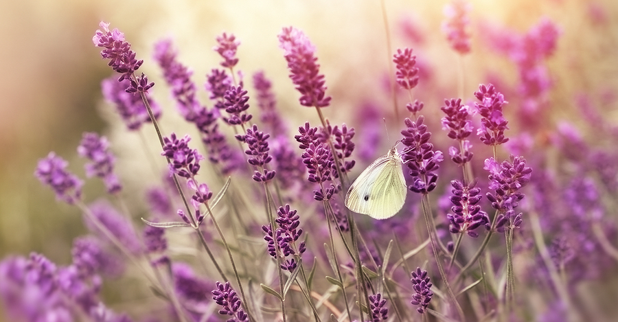 Beautiful nature - lavender flowers and butterfly, butterfly on lavender